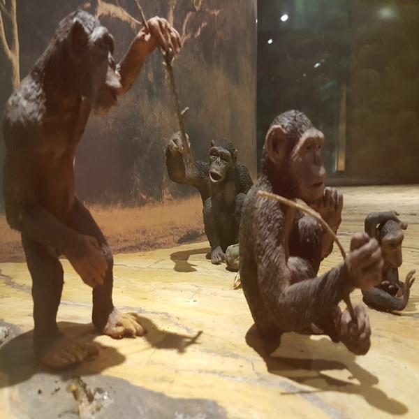 Australopithecus Afarensis 2